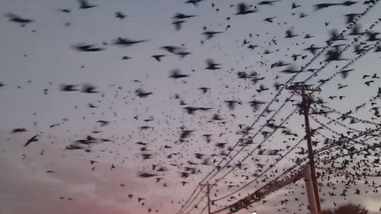 В Техасе огромная стая мечущихся птиц над шоссе напугала водителей (2 фото + видео)