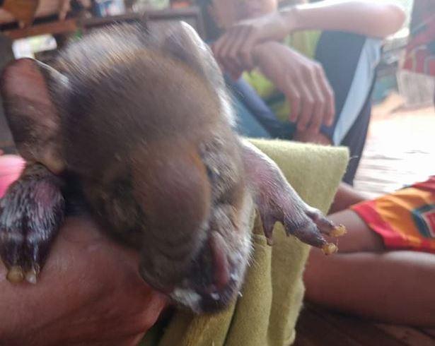 В Таиланде родился поросенок с хоботом (4 фото)