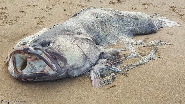На австралийский берег выбросило вымершую доисторическую рыбу?