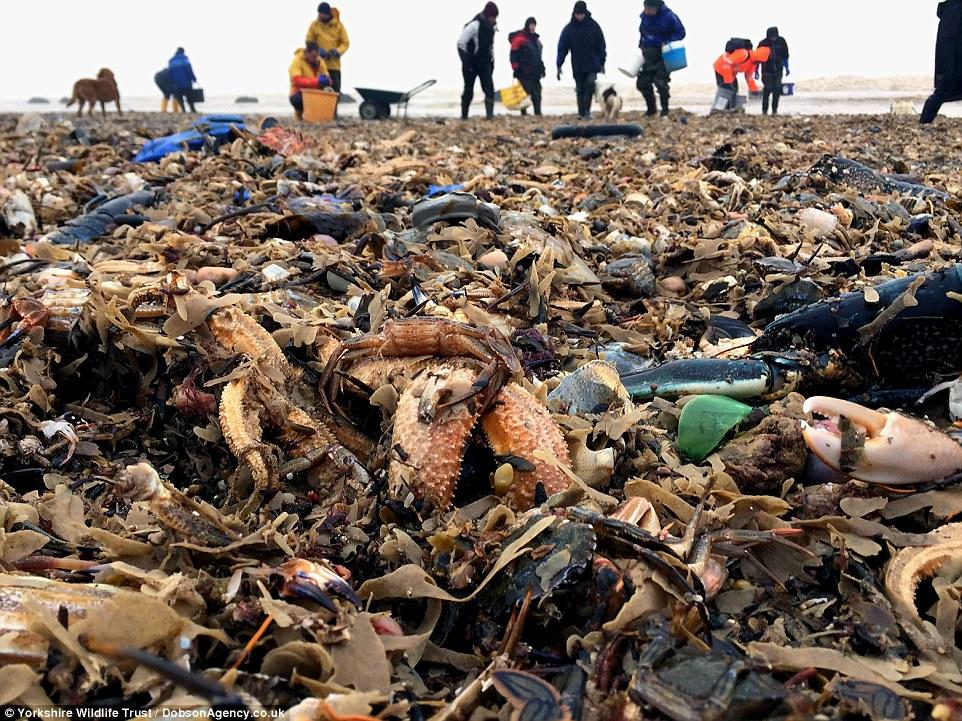 """Шторм """"Эмма"""" выбросил на пляж Йоркшира миллионы рыб, моллюсков, крабов и морских звезд"""