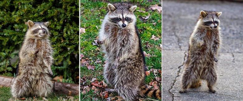 Еноты-зомби, убившие собаку выдры, ястребы, атакующие людей: В США животные словно сошли с ума (4 фото)