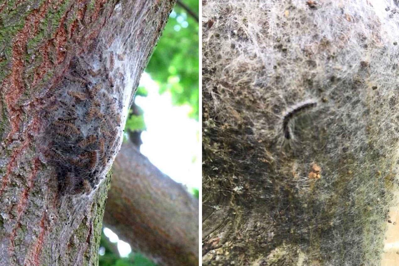 Юго-восток Великобритании заполонили опасные для человека гусеницы
