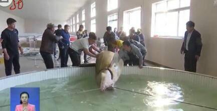Китайцы поймали в реке Амур огромную рыбу калугу