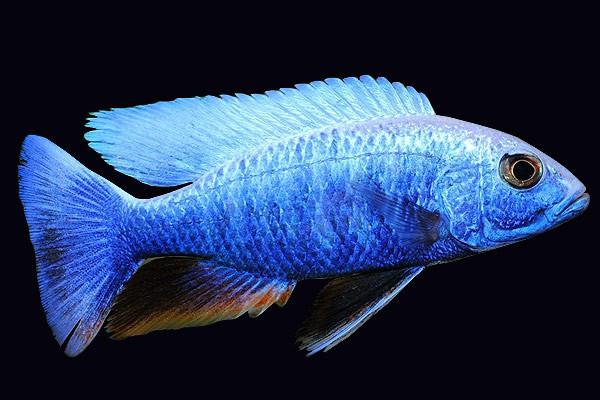 Огромную ярко-синюю рыбу засняли в водах озера в Северной Каролине