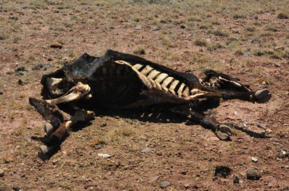 Ученые нашли 5-тысячелетний череп коровы со следами трепанации. Может ли это быть самый древний случай загадочного увечья скота?