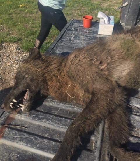 В Монтане убили необычное волкоподобное животное