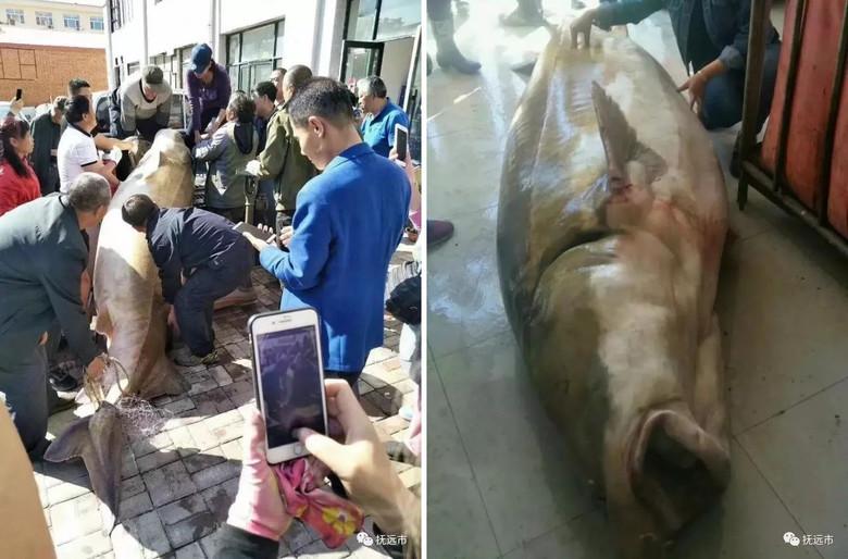 Китайцы поймали в реке Амур огромную рыбу калугу (8 фото)