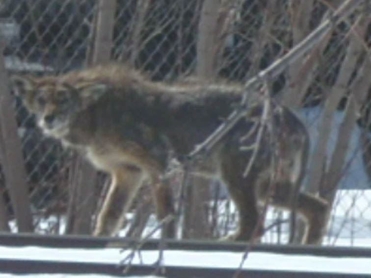 """После убийства """"волкособаки"""" в Монтане мужчина рассказал, что видел жуткого монстра в этих местах год назад"""