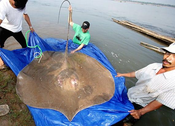Таинственные огромные речные рыбы Японии (5 фото)