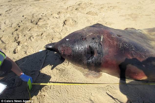На берег Намибии выбросило редкого 7-метрового кита, которому что-то сломало челюсть