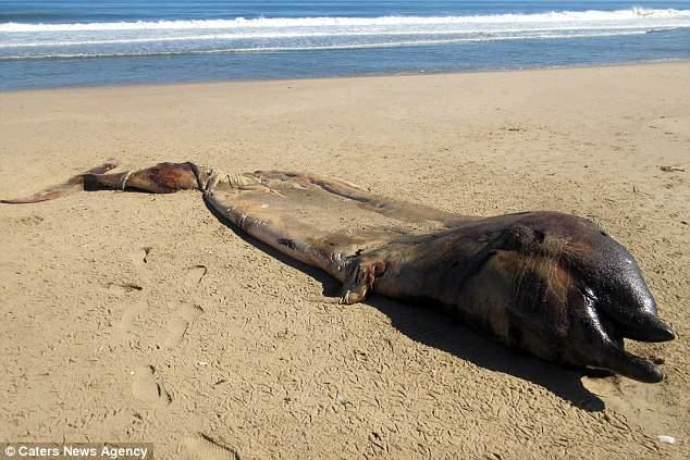На берег Намибии выбросило редкого 7-метрового кита, которому что-то сломало челюсть (5 фото)