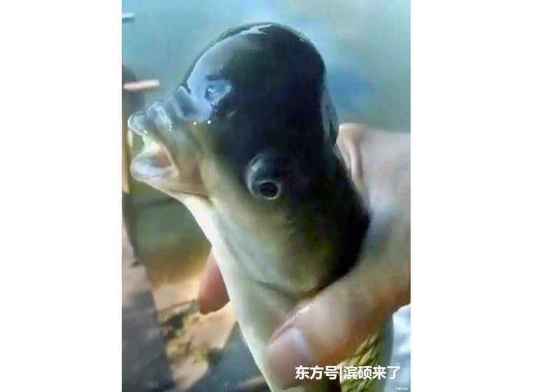 Рыба-мутант с раздутой головой напугала китайцев (3 фото + видео)