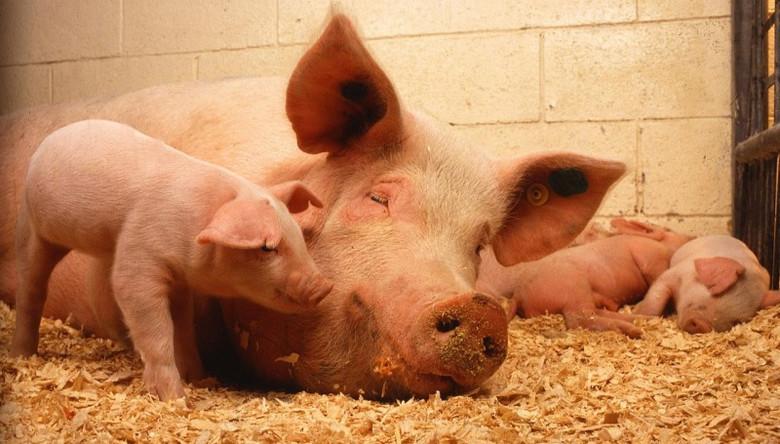 В Эдинбурге создали устойчивых к вирусам ГМО-свиней, чье мясо поступит в продажу в ближайшие 10 лет