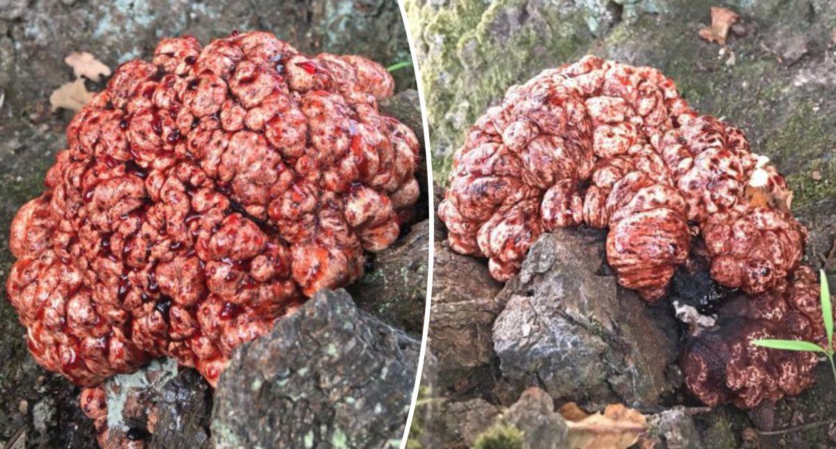 """В Дании женщина обнаружила у подножья дерева нечто, похожее на """"кровоточащий мозг"""""""