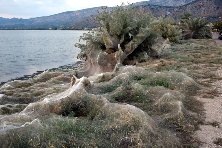 Кусты и деревья в греческом городке оказались полностью закутаны в паутину