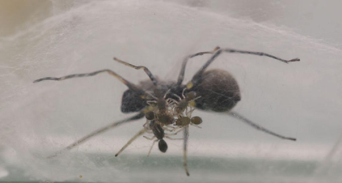 Китайские ученые обнаружили паука, который кормит детенышей... молоком!