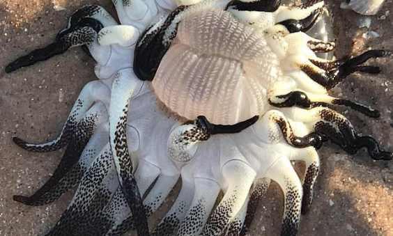Неизвестное океанское существо выбросило на берег в Австралии