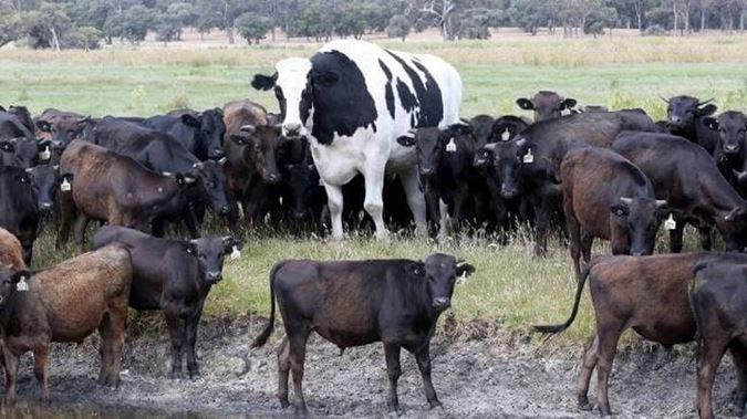 На ферме в Австралии вырос огромный бык