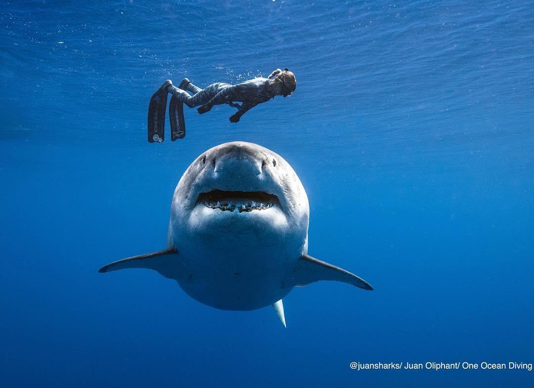 Рискуя жизнью, дайвер сделал снимки самой большой заснятой вблизи белой акулы