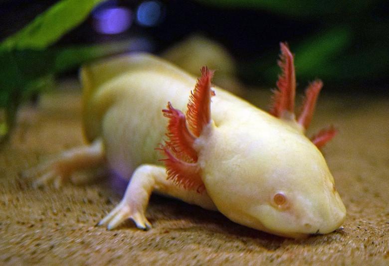 Ученые разобрали геном аксолотля и заявили, что это поможет людям отращивать конечности