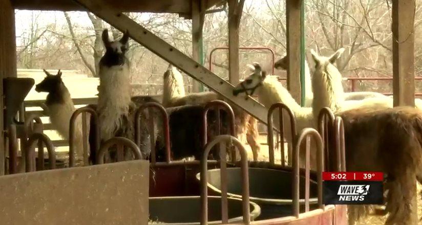 В Кентукки загадочный хищник пробрался в загон и убил сразу шесть лам