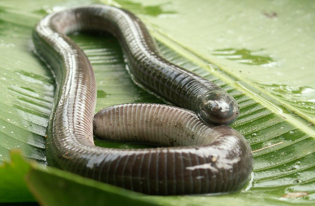 Удивительная червяга