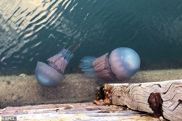 К британским берегам приплыли огромные медузы