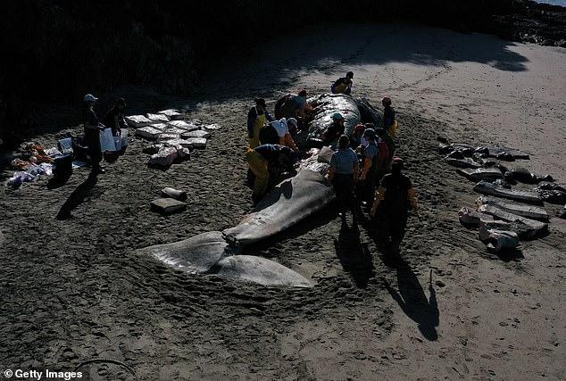 За месяц на пляжи Сан-Франциско выбросило четырех умерших от голода китов