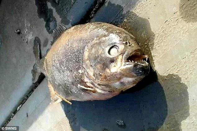 В британском озере стали пропадать рыба и утки, а потом там нашли пираний