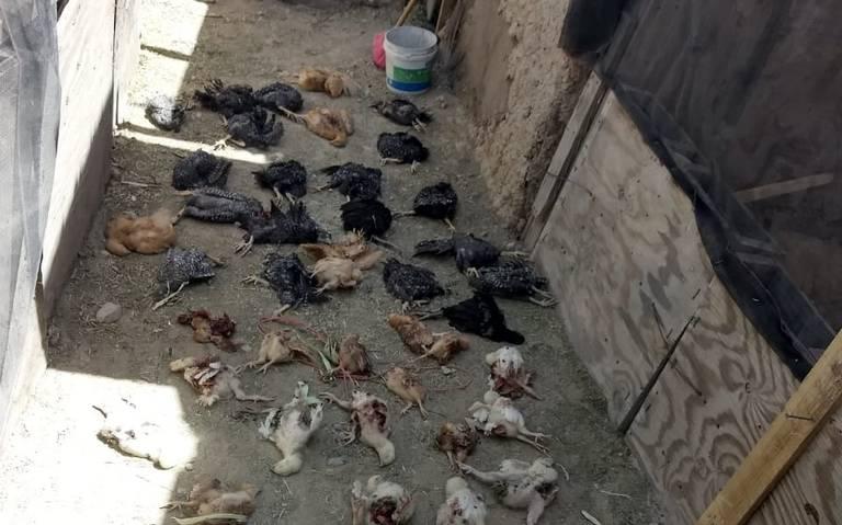В Мексике таинственный хищник изувечил и обескровил более 70 животных