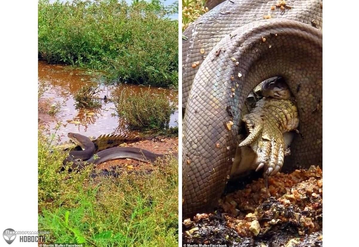 В Австралии случайно засняли как питон целиком заглотнул крокодила
