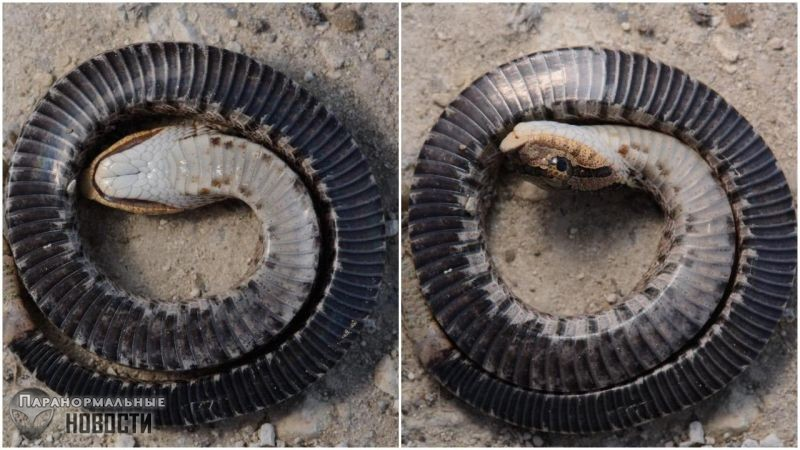 Эта змея из Северной Америки имеет удивительный защитный механизм