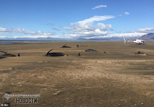 Загадка 50 мертвых гринд, которых выбросило на берег Исландии