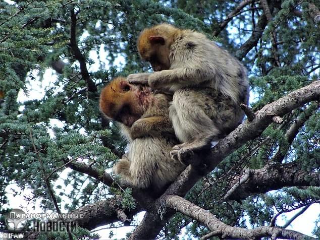 Стая диких обезьян подобрала раненого сородича из чужой группы, кормила его, заботилась и вылечила