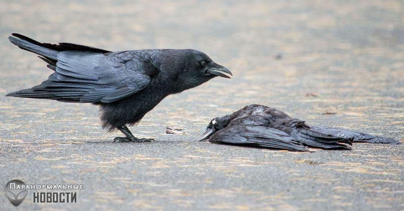 Тайна похорон воронов