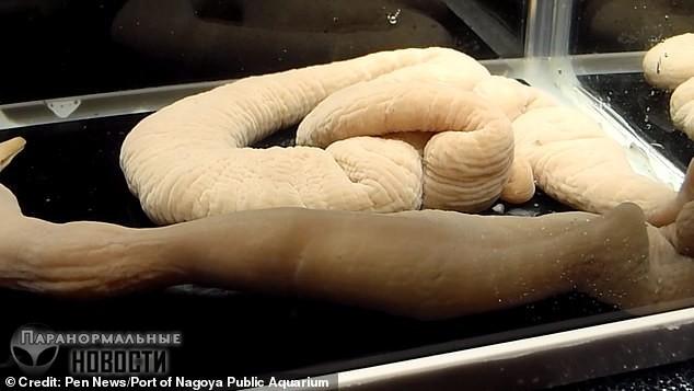 В аквариуме Японии обитают 70-сантиметровые черви, которые едят рыбу целиком