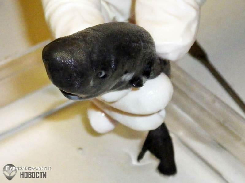 В океане нашли самую маленькую акулу в мире и она светится в темноте