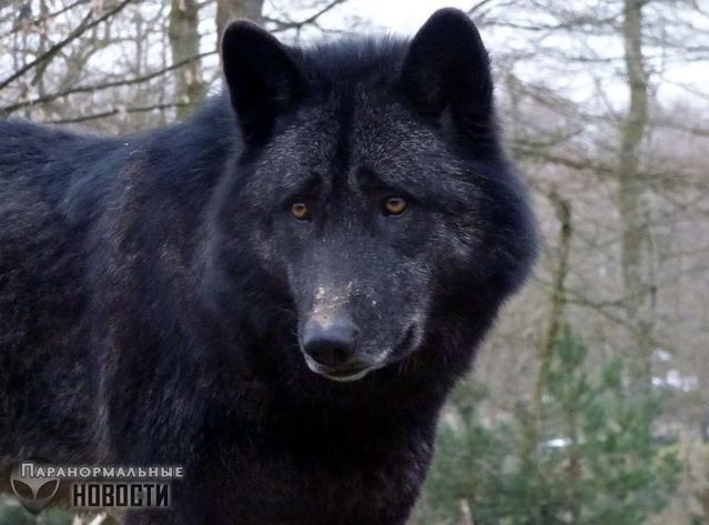 Волк-спаситель или случай в Миннесоте