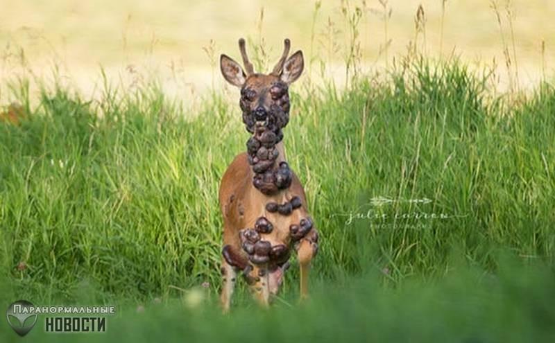В лесах Миннесоты засняли жуткого оленя
