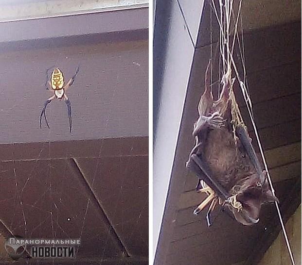 Посторонись, Австралия! В Техасе паук поймал и съел летучую мышь