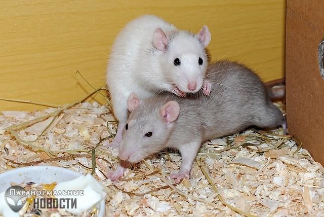 Космическая радиация сделала крыс более сообразительными