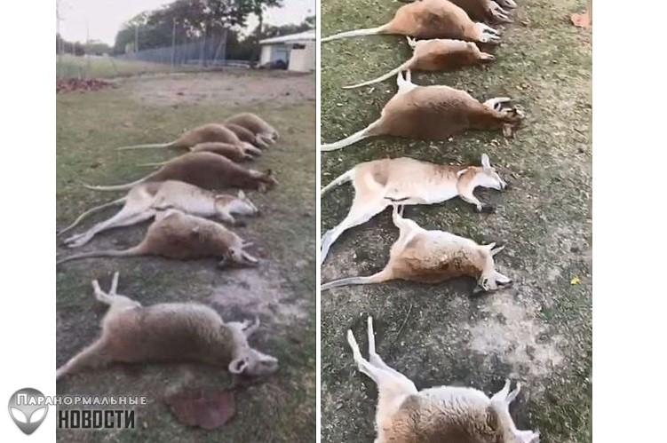 На севере Австралии загадочным образом умирают кенгуру, причина смерти до сих пор неизвестна