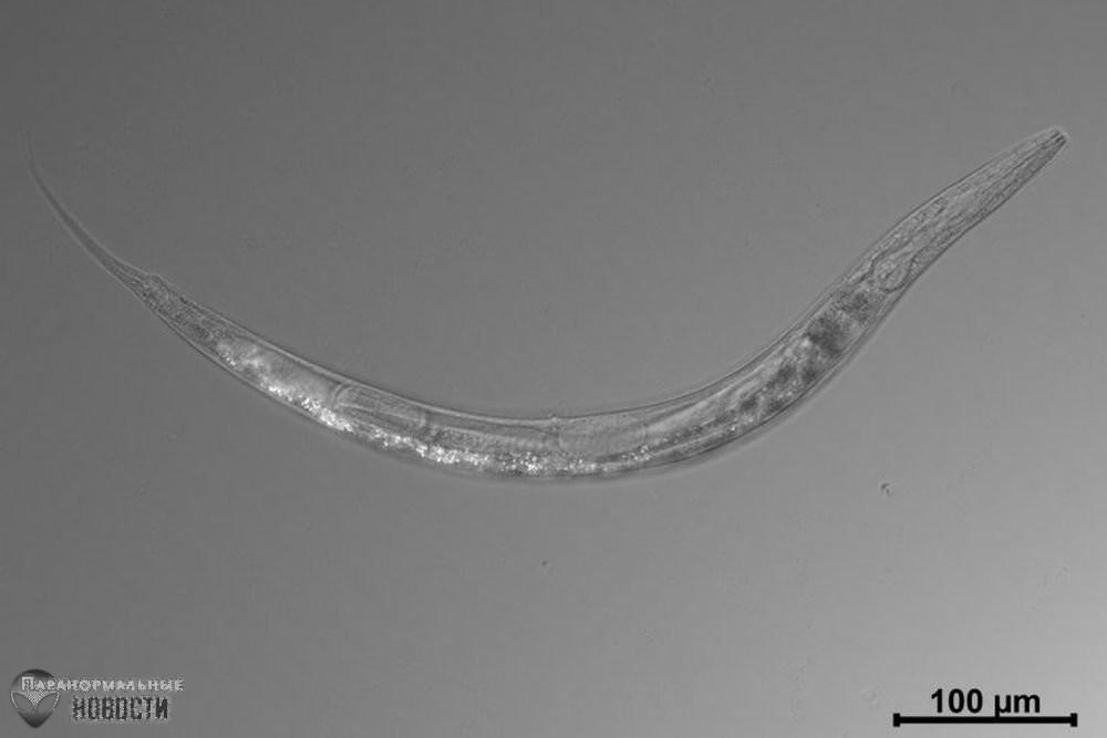 Уникальный трехполый червь найден в сверхсоленом озере