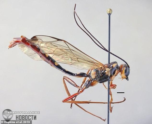 В джунглях Уганды обнаружили паразитических ос длиной в 10 см
