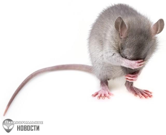 Крысы оказались еще умнее и сообразительнее, чем считалось ранее