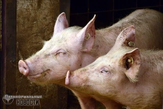 Китайские генетики создали огромных супер-свиней