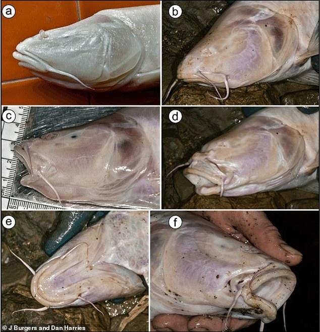 В индийской пещере ученые обнаружили огромных слепых рыб