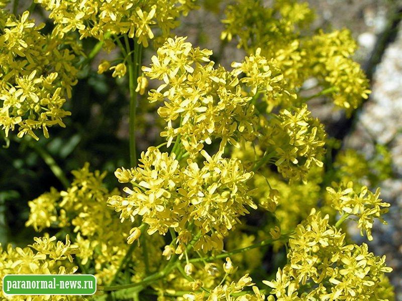 Степное растение может стать эффективным лекарством против коронавируса
