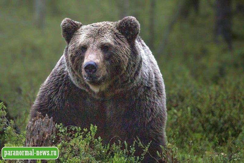 Британцы видят необычное животное, похожее на большого медведя
