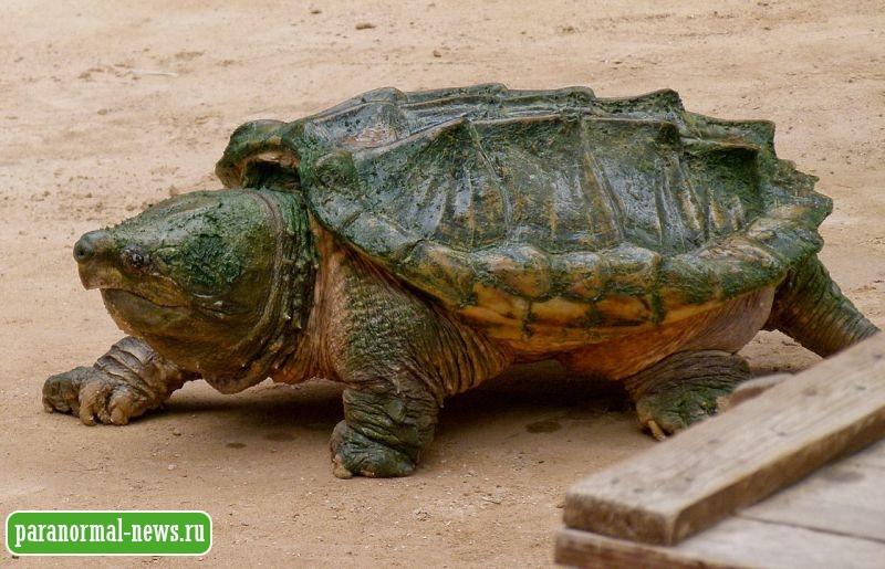 Зверь из Буско или загадка черепахи, размером с обеденный стол